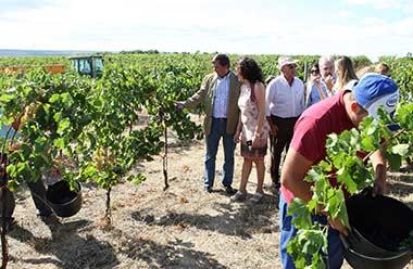 Se adelanta la temporada de vendimia en los viñedos de la región