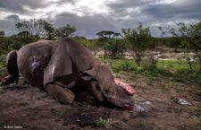 """Fotografía ganadora en la categoría Adultos: """"Monumento a una especie"""", de  Brent Stirton"""