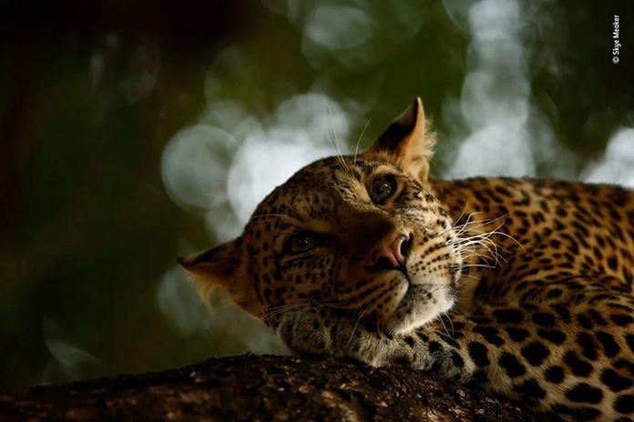 leopardo-descansando
